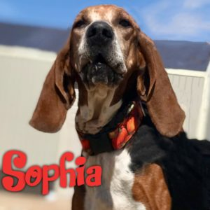 6 yo, female, Coonhound.  Dog/kid friendly.  Fort Collins.  $300.
