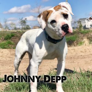 Johnny Depp, 2-3 year old, male, American Staffordshire mix, Cheyenne, WY, $250, female dog-friendly