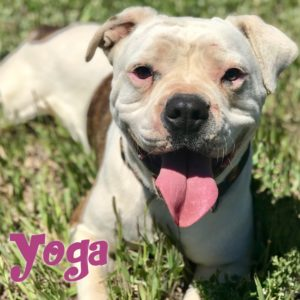 Yoga, 4-5 year old, female, American Bulldog mix, Windsor, $350, dog-friendly, kid-friendly