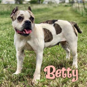 Betty, 3-4 year old, female, American Bully, Windsor, $350, kid-friendly, crate-trained, house-trained