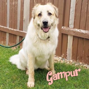 Gampur, 2 year old, female, Armenian Gampr, Windsor, $400