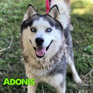 Adonis, 1.5 year old, male, Husky, Windsor, $400, dog-friendly, kid-friendly