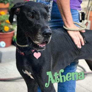 Athena, 4 year old, female, Great Dane, Windsor, $350, male dog-friendly