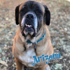 Arizona, 6 year old, female, Mastiff, Windsor, $350, mostly dog-friendly, kid-friendly