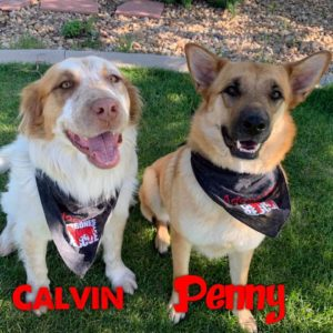 Calvin, 2-3 year old, male, Aussie/Saint mix, Penny, 2 year old, female, Shepherd Johnstown, $400, dog-friendly, kid-friendly