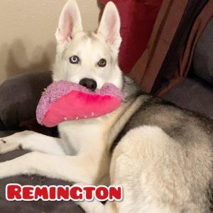 Remington, 7 month old, Husky/German Shepherd mix, Eaton, $350, dog-friendly, older kid-friendly (8+)