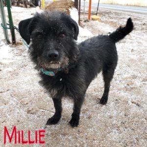 Millie, 2 years, Female, Terrier mix, Windsor, $350, dog-friendly, kid-friendly