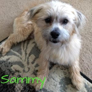 Sammy, 2 years, Male, Cairn Terrier/Lhasa Apso mix, Severance, $500, dog-friendly, older kid-friendly