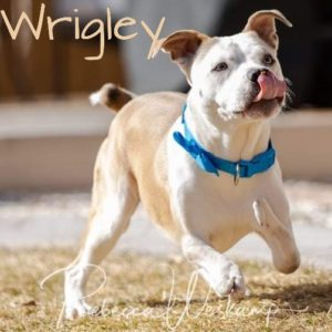 Wrigley, 10 month old, male, American Bulldog mix, Fort Collins, $400, dog-friendly, kid-friendly, Ectrodactyly (lobster claws) on both front legs