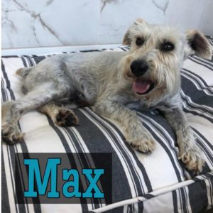 Max, 10 years, Male, Schnauzer, Good w/Dogs, Cats, & Older Kids, $300, Arvada